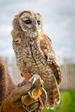 Retrato novo da águia-coruja Fotos de Stock Royalty Free