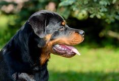Retrato novo de Rottweiler foto de stock
