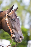 Retrato ocidental do cavalo de Brown Fotos de Stock