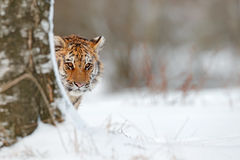 Retrato ocultado del gato salvaje Tigre siberiano en caída de la nieve, árbol de abedul Tigre de Amur que se sienta en nieve Tigr Foto de archivo libre de regalías
