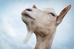 Retrato orgulloso del ` s de la cabra Imagenes de archivo