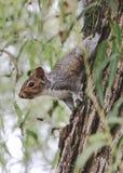 Retrato oriental de Grey Squirrel no fim do verão fotografia de stock