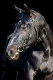 Retrato oscuro del estudio del caballo negro bávaro Foto de archivo libre de regalías