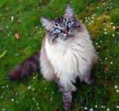 Retrato pedigrí de pelo largo del gato de Ragdoll Fotos de archivo