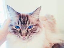 Retrato pedigrí lleno del gato de Ragdoll Fotos de archivo