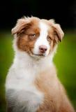 Retrato pequeno bonito novo do filhote de cachorro Fotografia de Stock Royalty Free