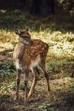 Retrato pequeno dos cervos de ovas na floresta foto de stock royalty free