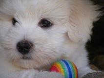 Retrato pequeno tulear do cachorrinho do de do algodão Imagem de Stock