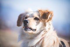 Retrato perjudicado del perro Fotografía de archivo libre de regalías