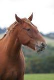 Retrato pesado del caballo fotografía de archivo libre de regalías