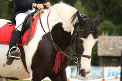 Retrato picazo del caballo del chapucero Fotos de archivo libres de regalías