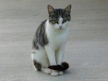 Retrato poco gris y blanco del gato fotos de archivo libres de regalías