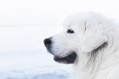 Retrato polonês do Sheepdog de Tatra Igualmente sabido como Podhalan foto de stock royalty free