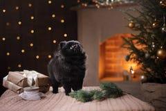 Retrato pomeranian alemán del perro Feliz Año Nuevo, la Navidad, animal doméstico en el cuarto el árbol de navidad Imagen de archivo