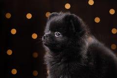 Retrato pomeranian alemán del perro Feliz Año Nuevo, la Navidad, animal doméstico en el cuarto el árbol de navidad Fotografía de archivo libre de regalías
