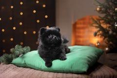Retrato pomeranian alemán del perro Feliz Año Nuevo, la Navidad, animal doméstico en el cuarto el árbol de navidad Imágenes de archivo libres de regalías