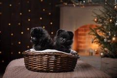 Retrato pomeranian alemán del perro Feliz Año Nuevo, la Navidad, animal doméstico en el cuarto el árbol de navidad Imagen de archivo libre de regalías
