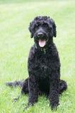 Retrato portugués del perro de agua Foto de archivo libre de regalías