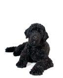 Retrato português do cão de água imagem de stock royalty free