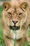 Retrato próximo do leão Imagens de Stock