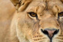 Retrato próximo do leão Foto de Stock