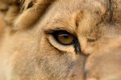 Retrato próximo do leão Fotografia de Stock