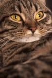Retrato próximo dos olhos amarelos grandes fêmeas de um gato de gato malhado Imagem de Stock Royalty Free