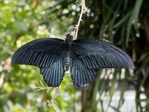 Retrato preto bonito da borboleta, close up em um galho imagens de stock royalty free