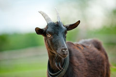 Retrato preto da cabra Imagens de Stock