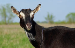 Retrato preto da cabra Fotografia de Stock Royalty Free