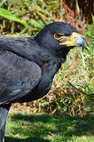 Retrato preto de Eagle (Eagle de Verreaux) Imagem de Stock