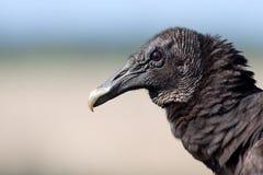 Retrato preto do abutre Fotografia de Stock