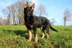 Retrato preto do cachorrinho do pastor alemão no parque fotos de stock royalty free