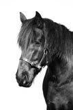 Retrato preto do cavalo do frisão da beleza Fotos de Stock