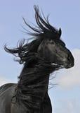 Retrato preto do cavalo do Frisian Fotografia de Stock