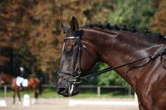 Retrato preto do cavalo durante a competição do adestramento Fotos de Stock