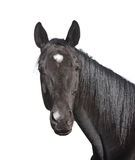 Retrato preto do cavalo isolado no branco Imagens de Stock