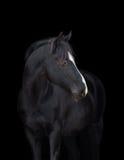 Retrato preto do cavalo no preto Fotografia de Stock Royalty Free