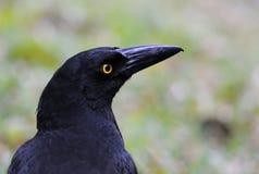 Retrato preto do corvo Imagem de Stock