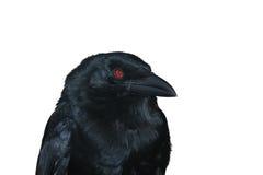 Retrato preto do corvo Fotos de Stock