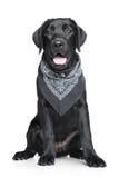 Retrato preto do filhote de cachorro de Labrador Imagens de Stock