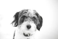 Retrato preto e branco bonito da cruz da caniche Foto de Stock