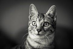 Retrato preto e branco bonito do gato Imagem de Stock Royalty Free