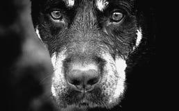 Retrato preto e branco de um cão de Rottweiler Imagens de Stock Royalty Free
