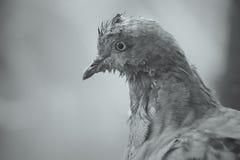 Retrato preto e branco de um pombo velho foto de stock royalty free