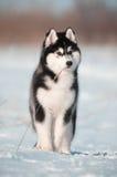 Retrato preto e branco do cachorrinho do cão do cão de puxar trenós Siberian no prado da neve Foto de Stock Royalty Free