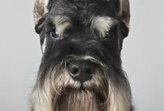 Retrato preto e de prata do schnauzer diminuto Foto de Stock Royalty Free