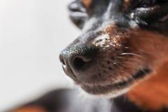 Retrato preto e marrom do pinscher diminuto nas horas de ver?o Pincher esperto e bonito com orelhas engra?adas e os olhos redondo imagens de stock