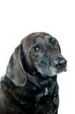 Retrato preto velho de Labrador Imagem de Stock Royalty Free