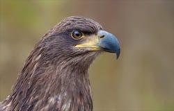 retrato principal Branco-atado da águia da distância mesma do shrt imagem de stock
